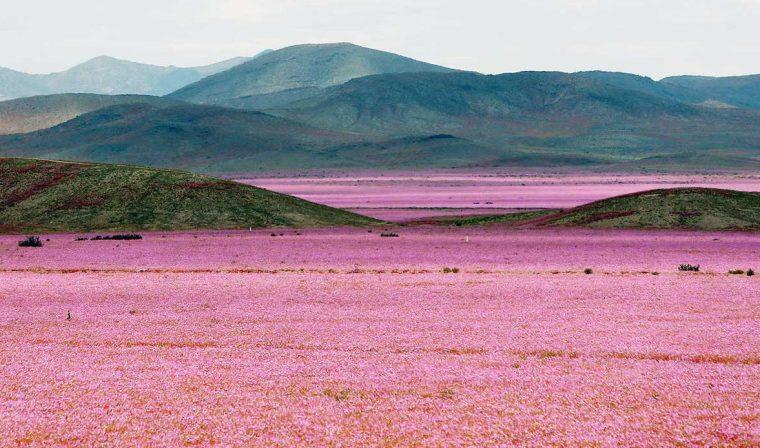 Il risveglio della vita: fioritura del deserto di Atacama in Cile